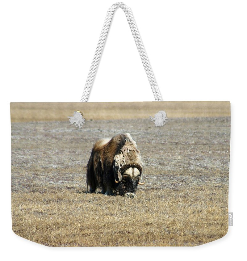 Musk Ox Weekender Tote Bag featuring the photograph Musk Ox Grazing by Anthony Jones