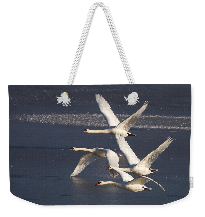 Swans Weekender Tote Bag featuring the photograph Mute Swans In Flight by Bob Kemp