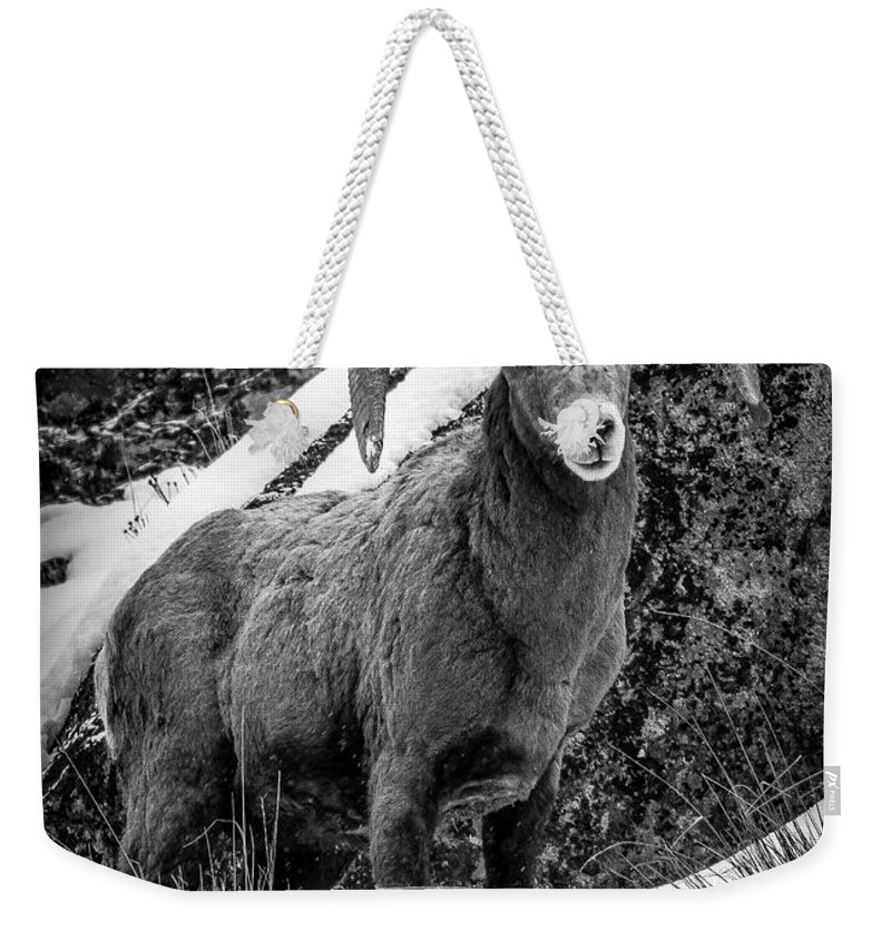 Bighorn Ram Weekender Tote Bag featuring the photograph Old Ram in the Snow by Jason Brooks