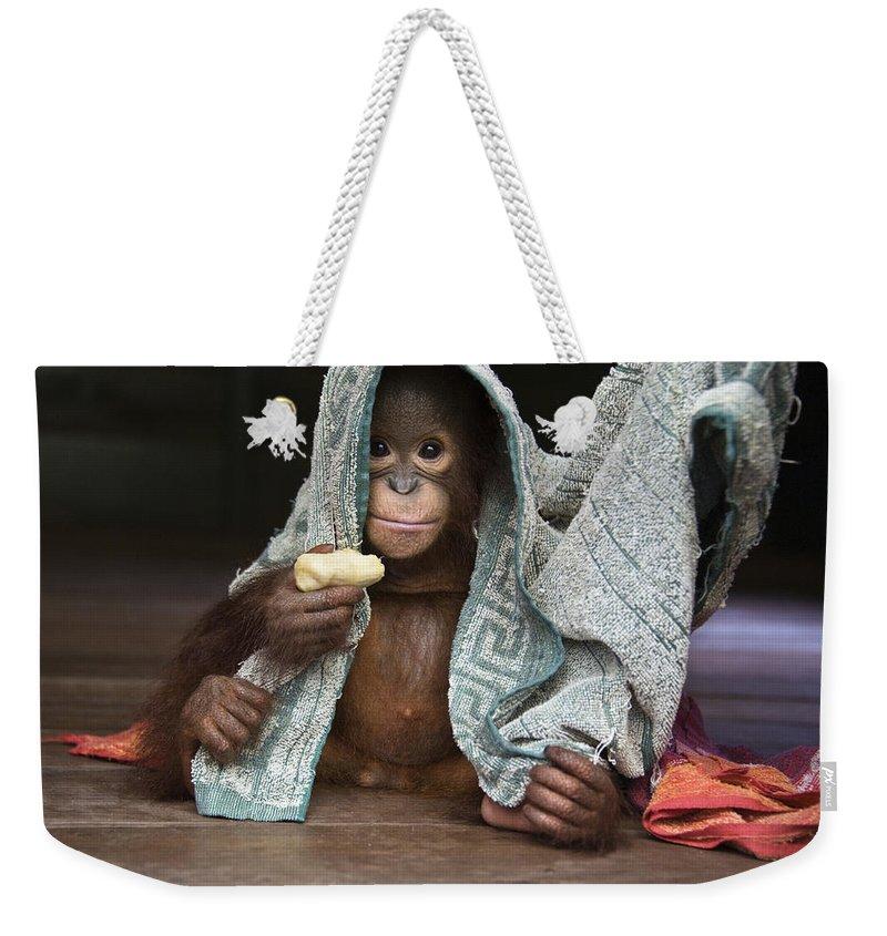 00486841 Weekender Tote Bag featuring the photograph Orangutan 2yr Old Infant Holding Banana by Suzi Eszterhas