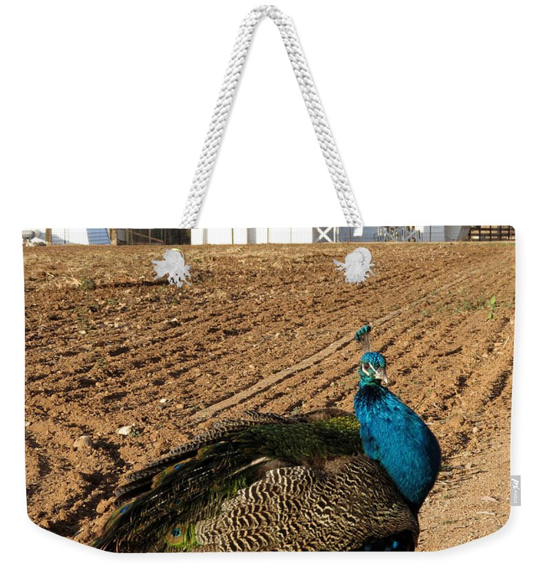 Sahuaro Ranch Park Weekender Tote Bag featuring the photograph Peacock On The Farm by Laurel Powell