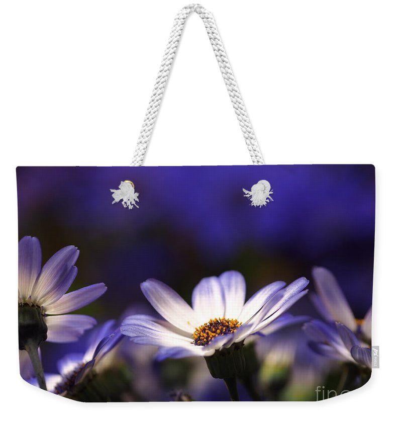 Flowers Weekender Tote Bag featuring the photograph Pericallis On A Cool Spring Evening 4 by Dorothy Lee