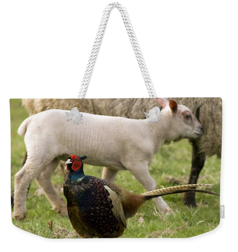 Lamb Weekender Tote Bag featuring the photograph Pheasant And Lamb by Angel Ciesniarska