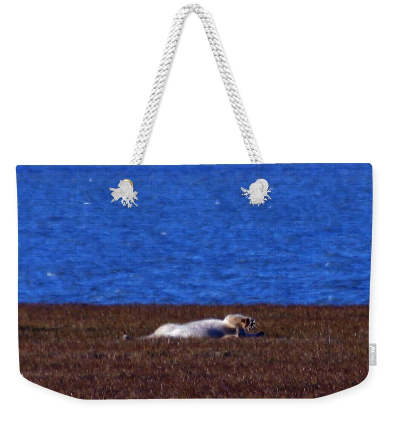 Polar Bear Weekender Tote Bag featuring the photograph Polar Bear Rolling In Tundra Grass by Anthony Jones