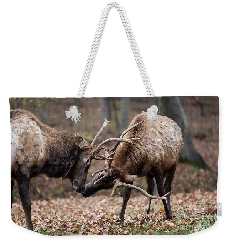 Elk Weekender Tote Bag featuring the photograph Practicing by Andrea Silies