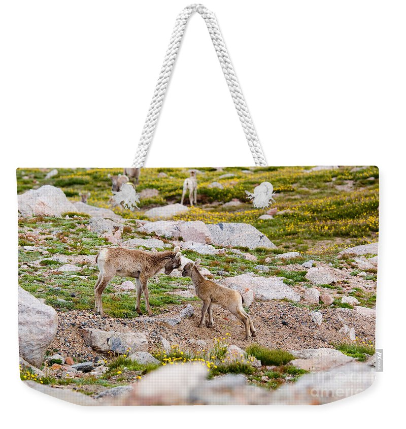 Antlers Weekender Tote Bag featuring the photograph Practicing Baby Bighorn Sheep On Mount Evans Colorado by Steve Krull