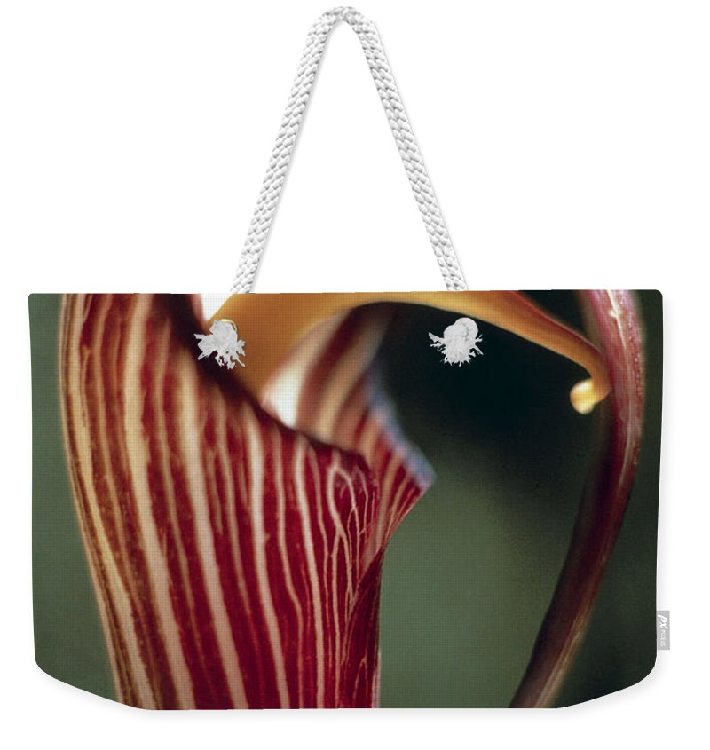 Bloom; Flower; Flowers; Plant; Plants; Cylindrical; Close-ups; Exotic; Indian; Petals; Curved; Tongue; Wild; Red; White; Striped; Floral Weekender Tote Bag featuring the photograph Purple Jack In Pulpit by American School