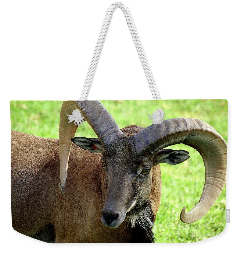 Big Horned Sheep Weekender Tote Bag featuring the photograph Ram by Jim And Emily Bush