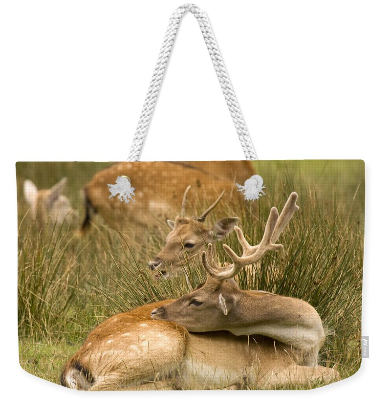 Fallow Deer Weekender Tote Bag featuring the photograph Rest Time by Angel Ciesniarska