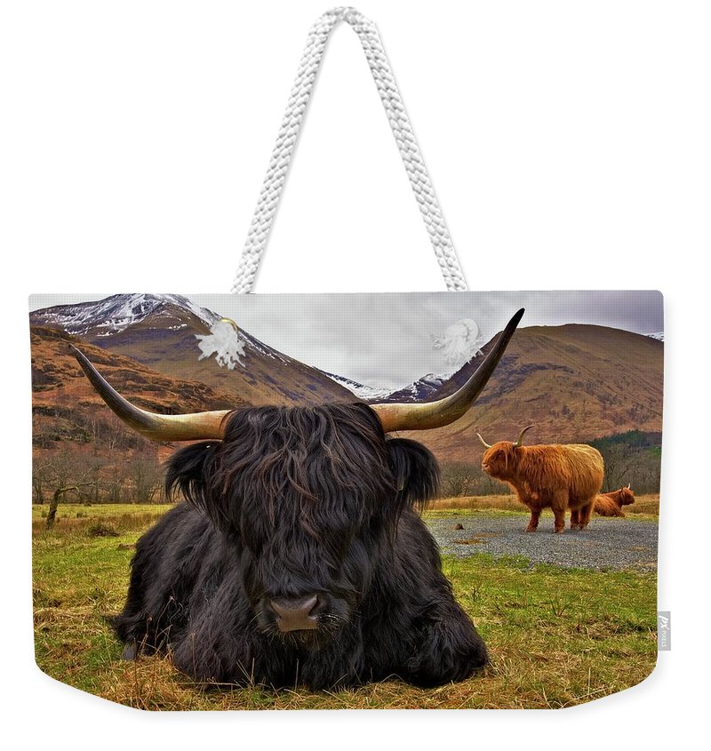 Cattle Weekender Tote Bag featuring the photograph Resting Place by Colette Panaioti