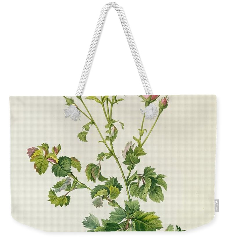 Rosa Weekender Tote Bag featuring the painting Rosa Centifolia Bipinnata by Pierre Joseph Redoute