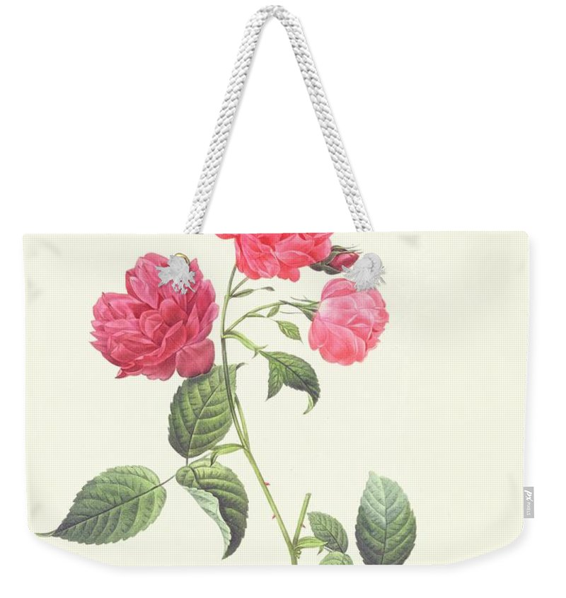 Rosa Weekender Tote Bag featuring the drawing Rosa Indica Caryophyllea by Pierre Joseph Redoute