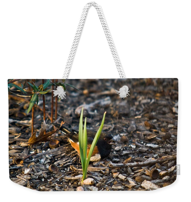 Cumberand Weekender Tote Bag featuring the photograph Rufous Sided Towhee Eating Sead by Douglas Barnett