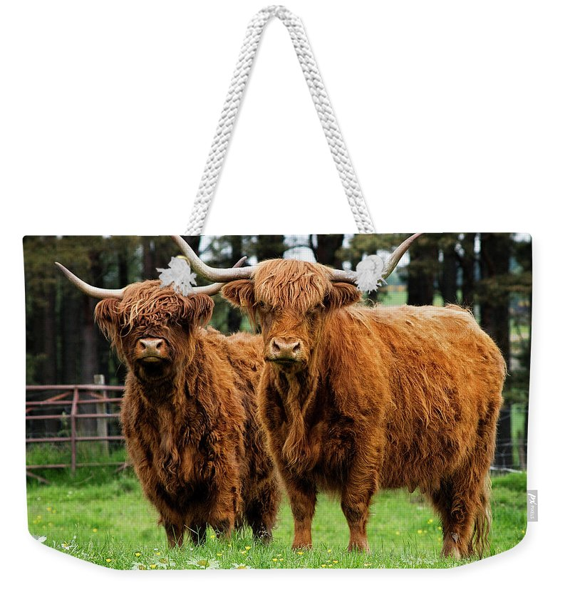 Cow Weekender Tote Bag featuring the photograph Scottish Highland Cows by Daniel Hagerman