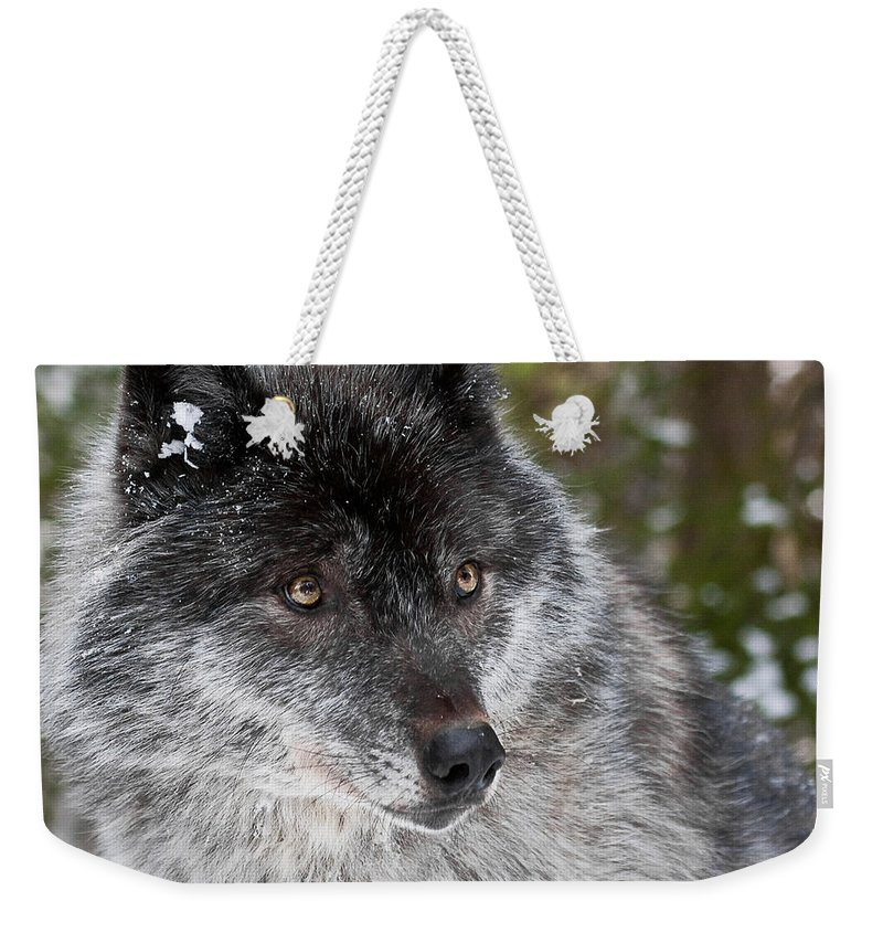 Canada Weekender Tote Bag featuring the photograph Shy II by Colette Panaioti
