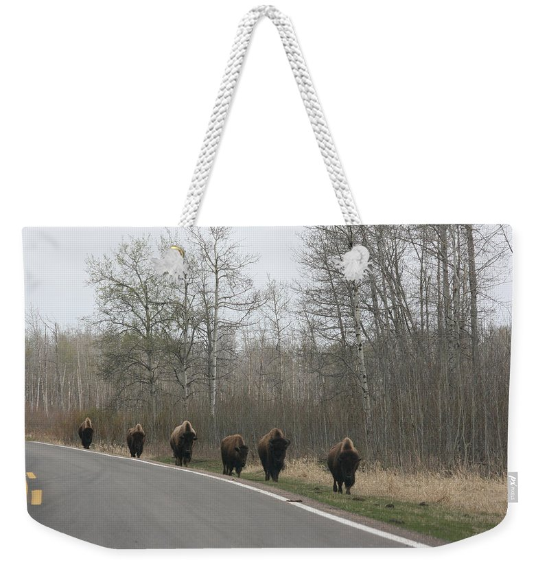 Buffalo Bison Herd Roaming National Park Edmonton Ab Elk Island Weekender Tote Bag featuring the photograph Single File Now by Andrea Lawrence