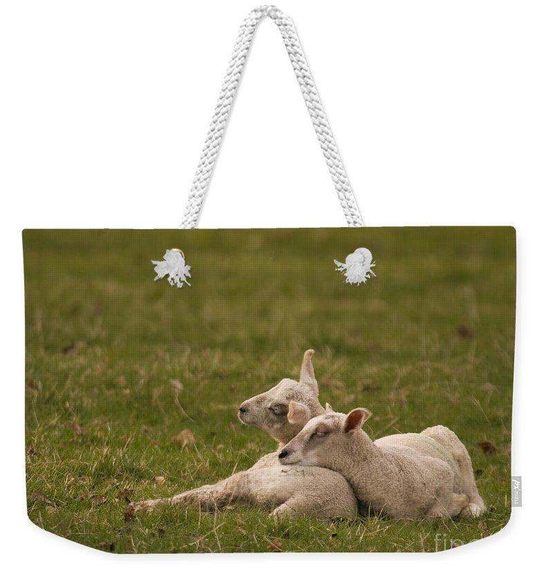 Lamb Weekender Tote Bag featuring the photograph Sleepy Lamb by Angel Ciesniarska