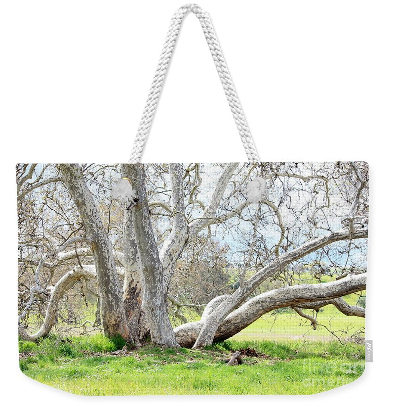 Sycamore Tree Weekender Tote Bag featuring the photograph Spring Sycamore Tree by Carol Groenen
