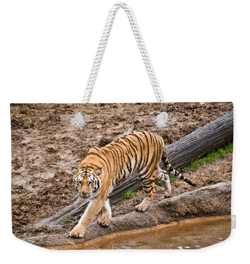 Tiger Weekender Tote Bag featuring the photograph Stalking Tiger - Bengal by Douglas Barnett