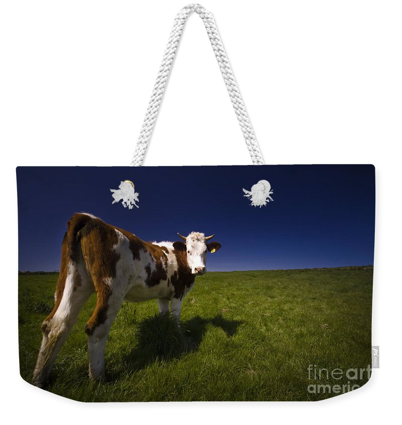 Cow Weekender Tote Bag featuring the photograph The Funny Cow by Angel Ciesniarska