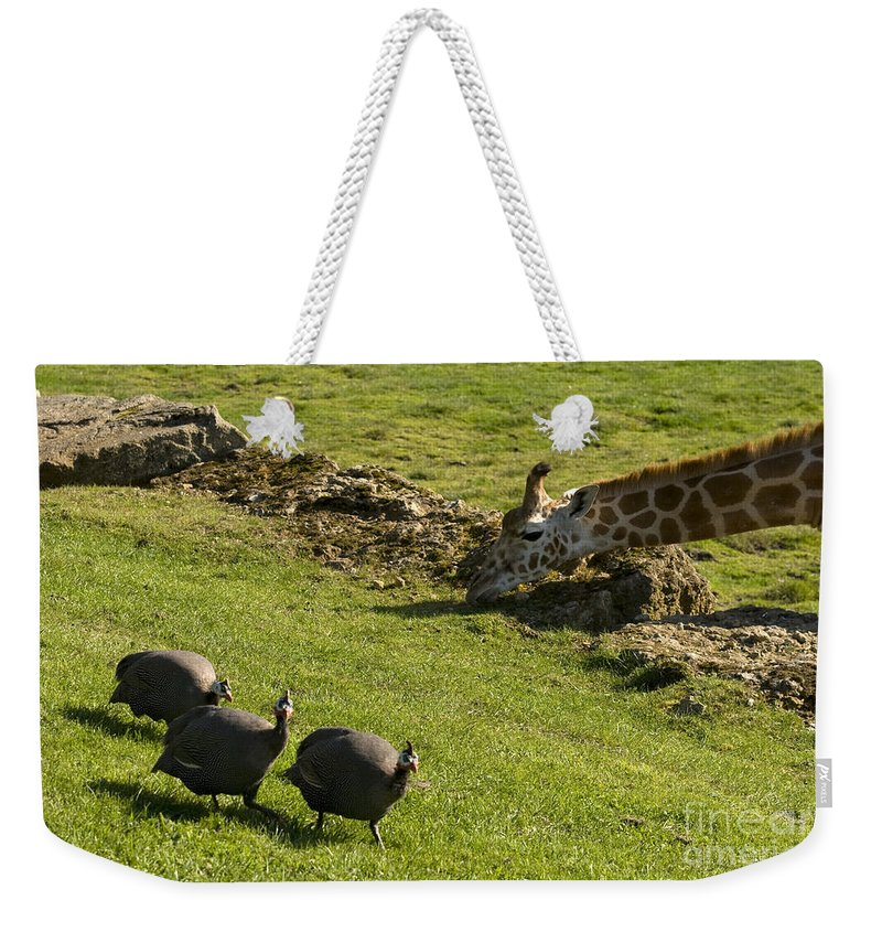 Helmeted Guineafowl Weekender Tote Bag featuring the photograph the Safari park by Angel Ciesniarska