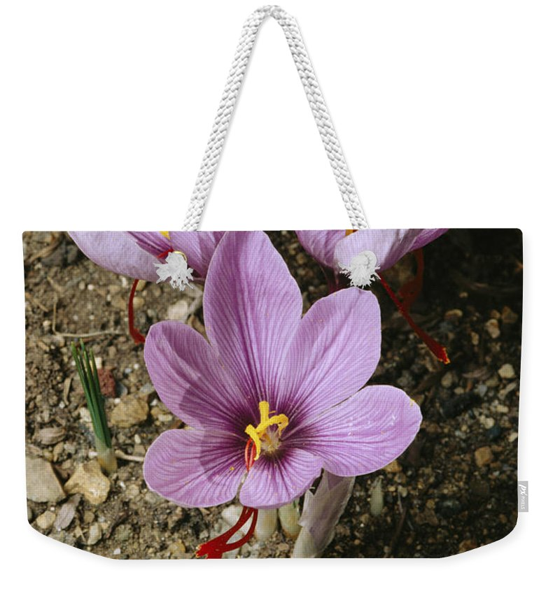 North America Weekender Tote Bag featuring the photograph Three Lovely Saffron Crocus Blossoms by Sylvia Sharnoff