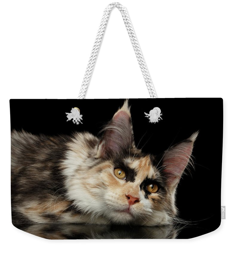 Tired Weekender Tote Bag featuring the photograph Tired Maine Coon Cat Lie On Black Background by Sergey Taran