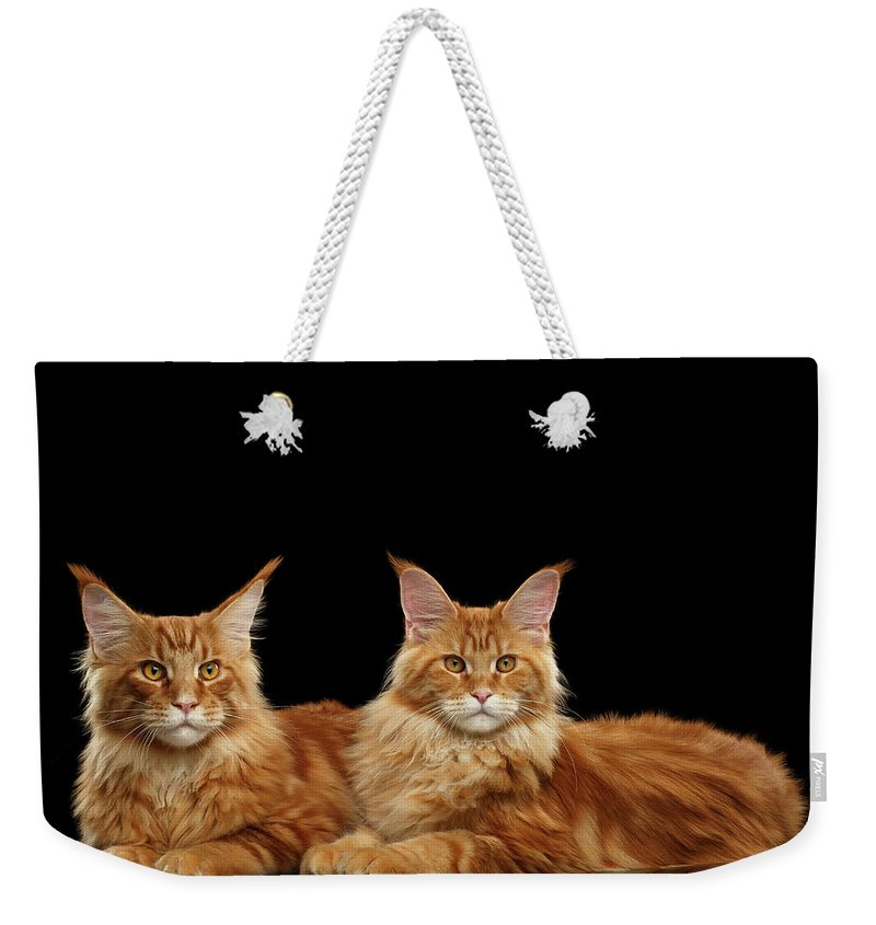 Angry Weekender Tote Bag featuring the photograph Two Ginger Maine Coon Cat On Black by Sergey Taran