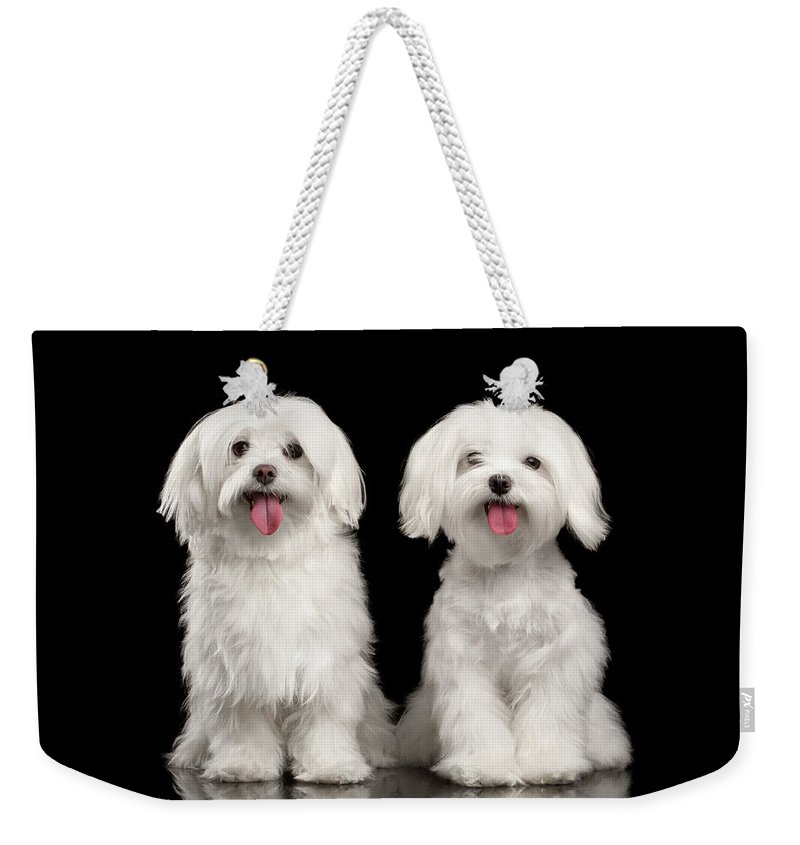 Maltese Weekender Tote Bag featuring the photograph Two Happy White Maltese Dogs Sitting, Looking In Camera Isolated by Sergey Taran
