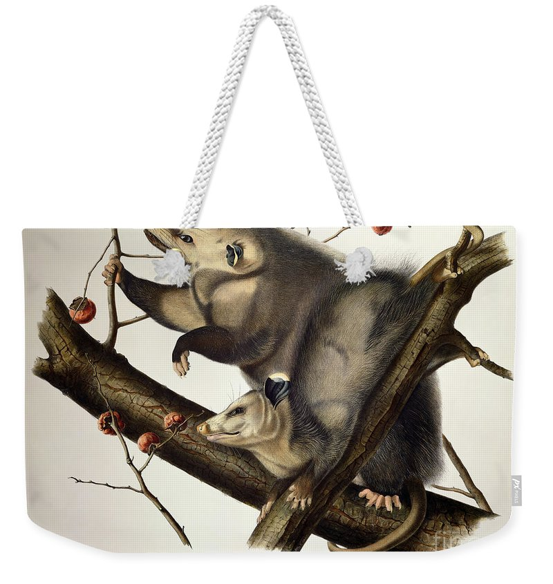 Virginian Opossum Weekender Tote Bag featuring the drawing Virginian Opossum by John James Audubon