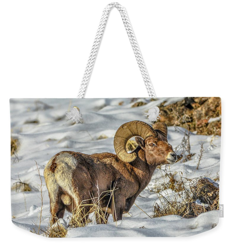 Bighorn Ram Weekender Tote Bag featuring the photograph Wintering Bighorn by Jason Brooks