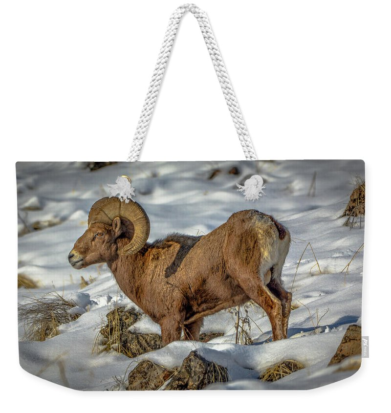 Bighorn Ram Weekender Tote Bag featuring the photograph Young Bighorn Ram1 by Jason Brooks