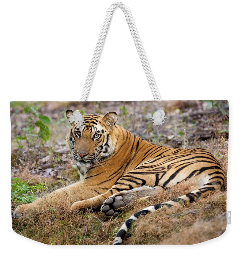 Looking Over Shoulder Weekender Tote Bag featuring the photograph An Adult Tiger In Bandhavgarh National by Mint Images - Art Wolfe