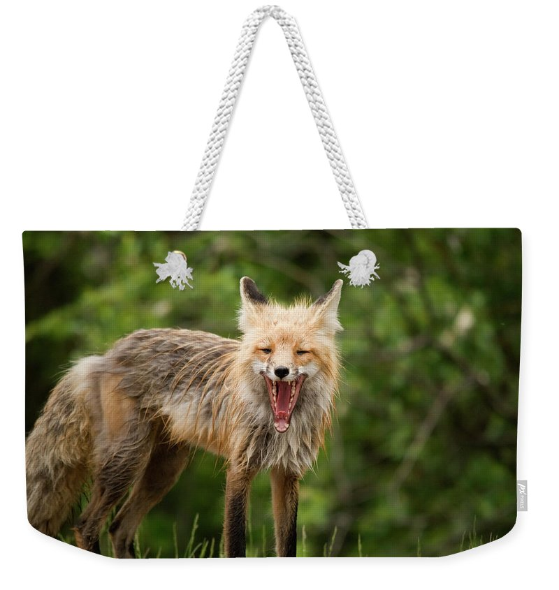 Snarling Weekender Tote Bag featuring the photograph Red Fox Vulpes Vulpes In Prince Albert by Philippe Widling / Design Pics