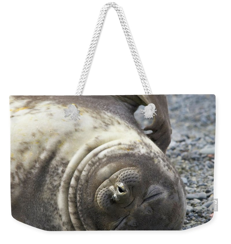 South Georgia Island Weekender Tote Bag featuring the photograph Southern Elephant Seal Weaner Pup by Eastcott Momatiuk