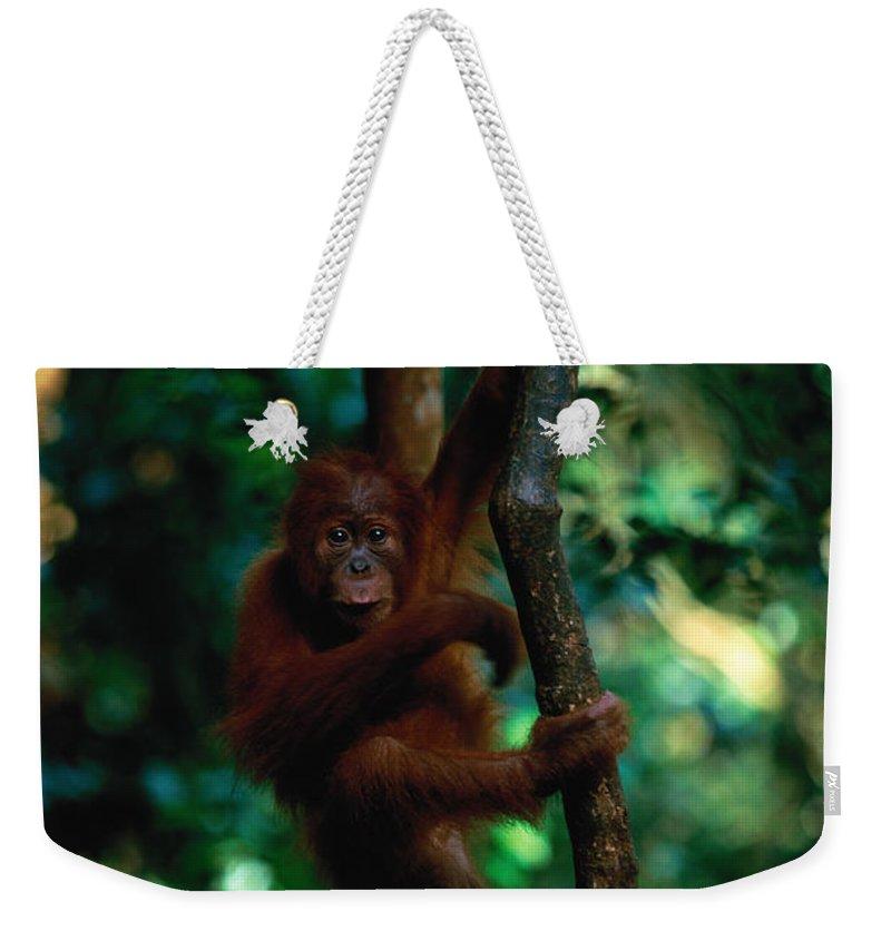 Southeast Asia Weekender Tote Bag featuring the photograph Young Sumatran Orangutan Pongo Pongo by Art Wolfe