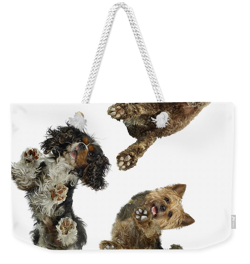 White Background Weekender Tote Bag featuring the photograph 3 Dogs Looking Down by Gandee Vasan