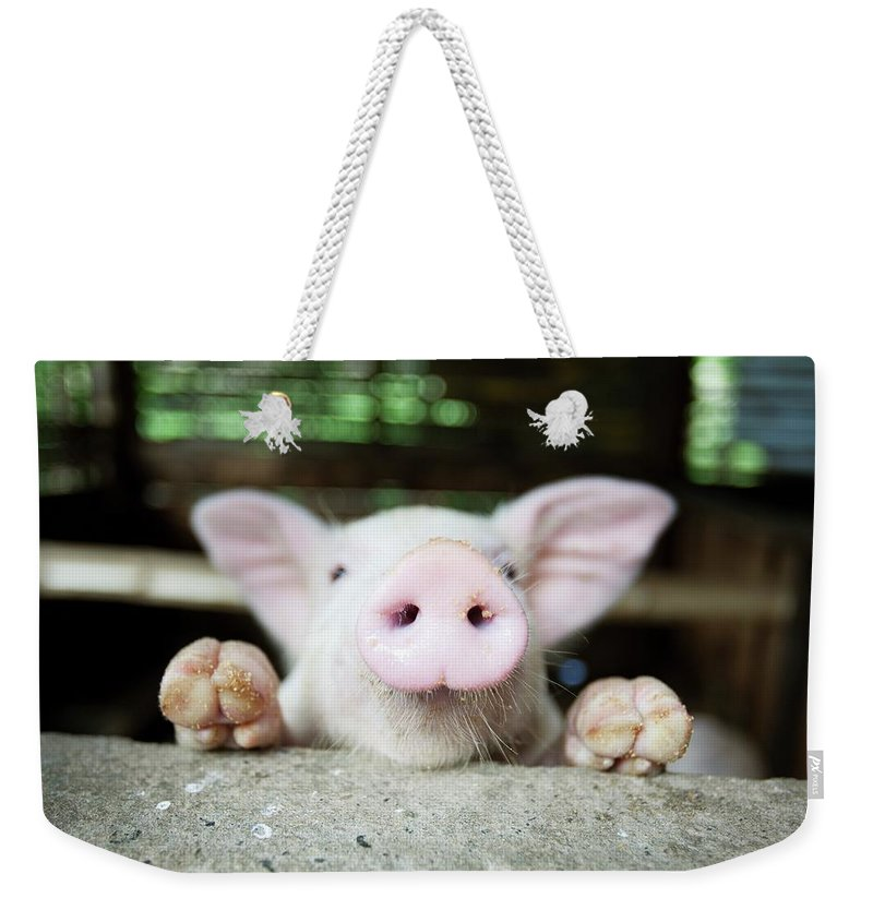 Negros Oriental Weekender Tote Bag featuring the photograph A Baby Pig In Its Pen by Design Pics / Deddeda