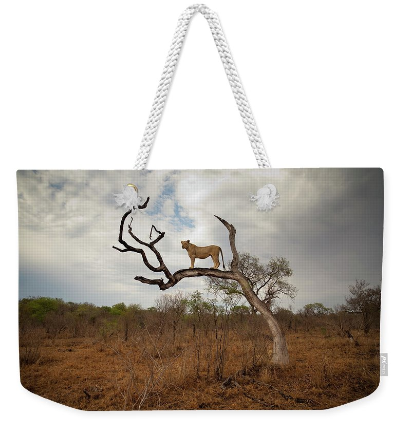 Scenics Weekender Tote Bag featuring the photograph A Female Lion Standing On Bare Branch by Sean Russell