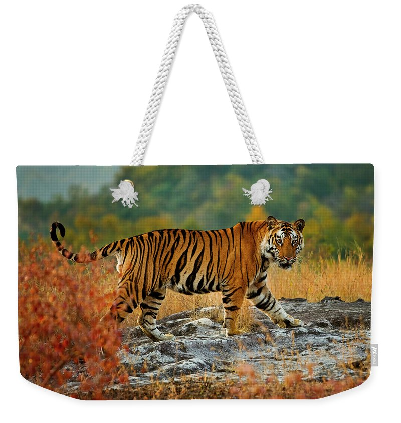 Vertebrate Weekender Tote Bag featuring the photograph A Large Tiger In Bandhavgarh National by Mint Images - Art Wolfe