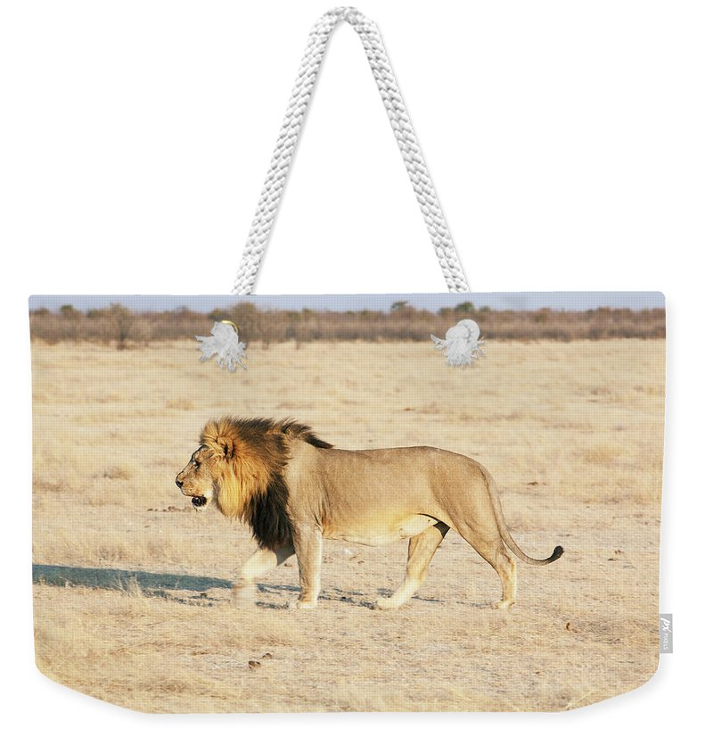 Animal Themes Weekender Tote Bag featuring the photograph African Lion On Savannah by Bjarte Rettedal