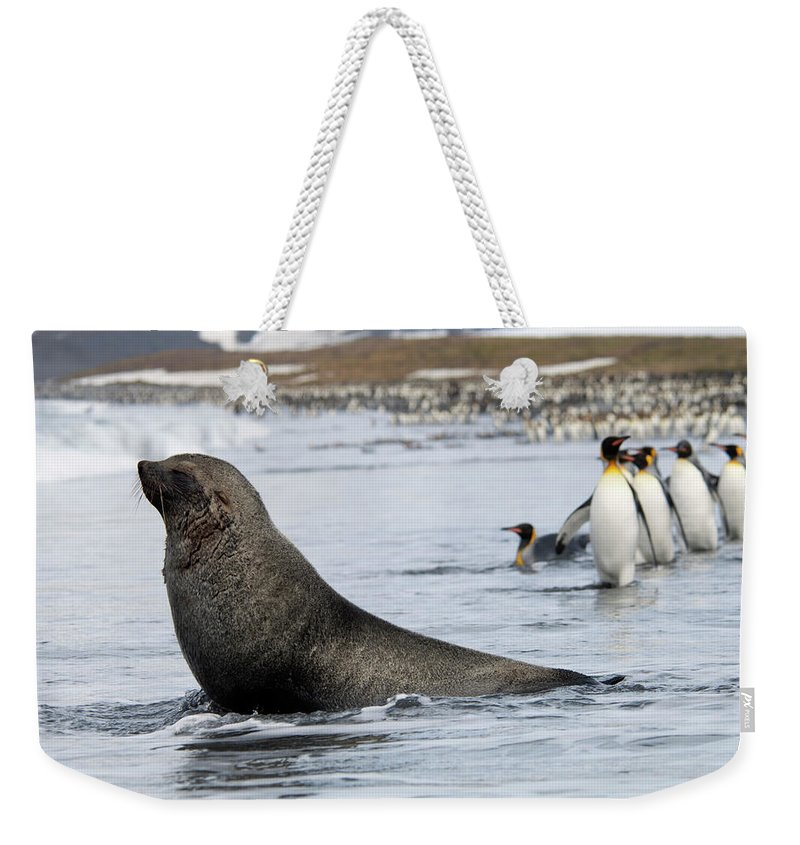 Water's Edge Weekender Tote Bag featuring the photograph An Antarctic Fur Seal, Arctocephalus by Mint Images - David Schultz