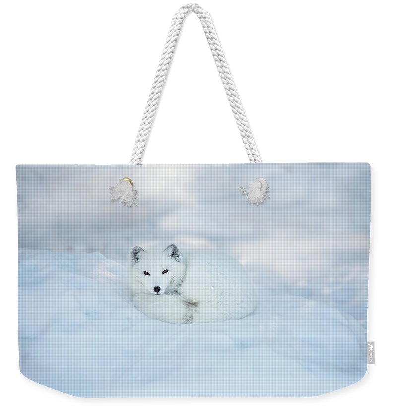 Svalbard Islands Weekender Tote Bag featuring the photograph Arctic Fox Resting In The Snow by Seppfriedhuber