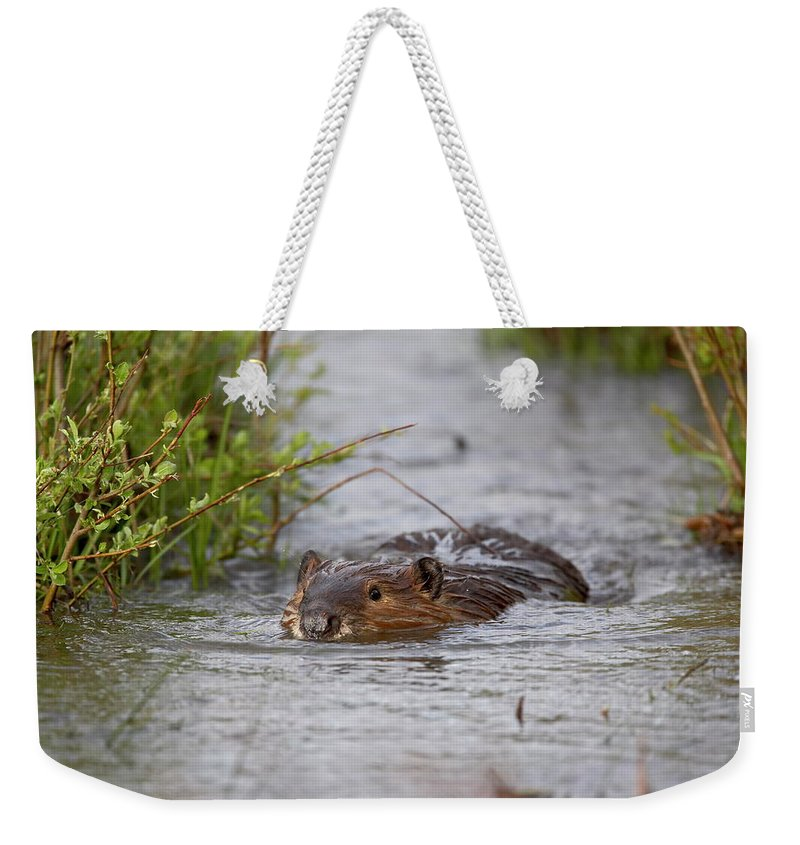 Beaver Weekender Tote Bag featuring the photograph Beaver Castor Canadensis Swimming In by James Hager / Robertharding