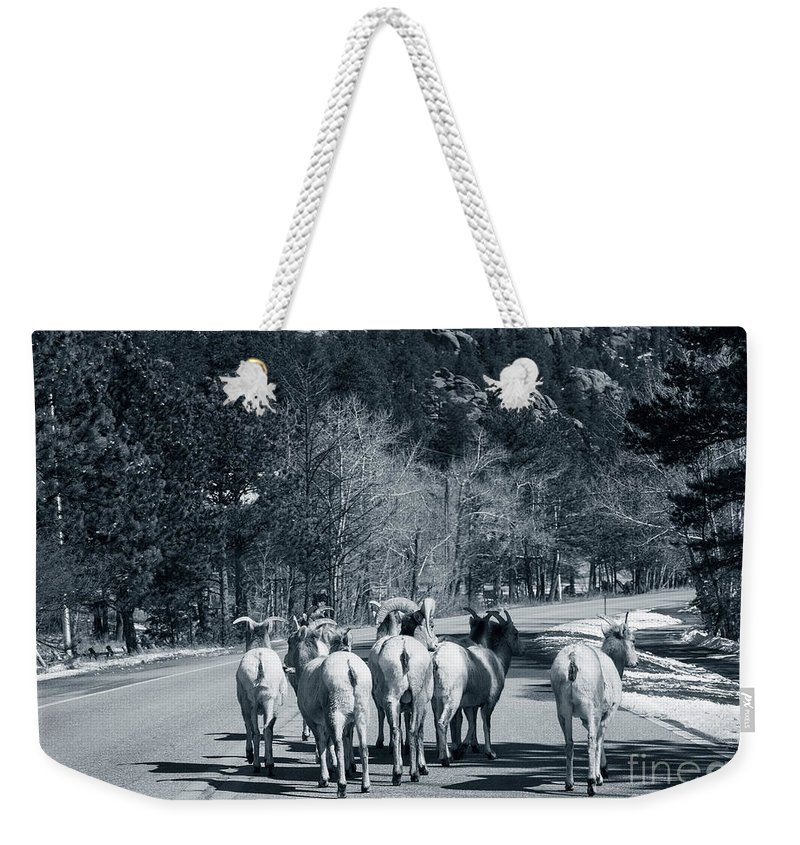 Domestic Animals Weekender Tote Bag featuring the photograph Bighorn Sheep Ovis Canadensis Walking by Clay Alchemist