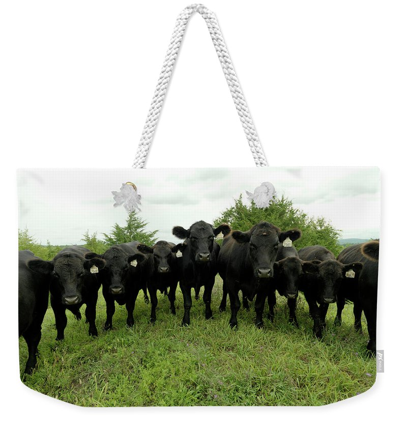 Grass Weekender Tote Bag featuring the photograph Black Angus Cows by Xpacifica