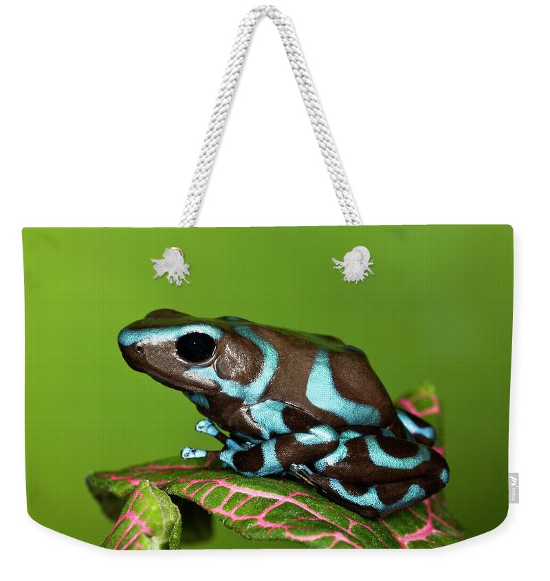 Animal Themes Weekender Tote Bag featuring the photograph Blue And Black Dart Frog, Dendrobates by Adam Jones