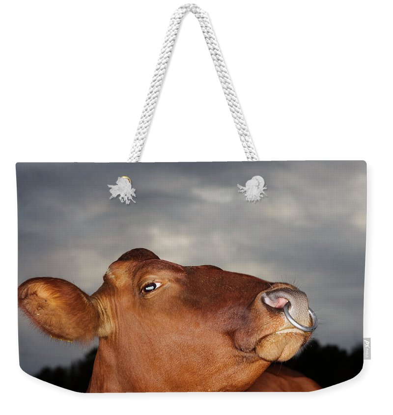 Sweden Weekender Tote Bag featuring the photograph Bull In Evening Light by Roine Magnusson
