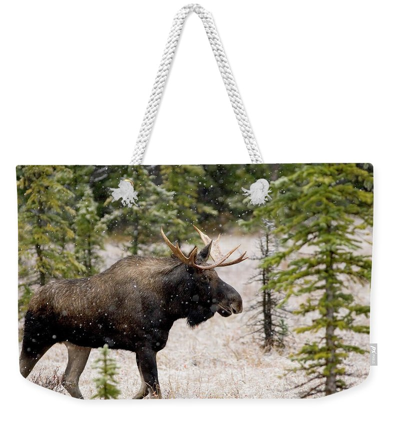 Horned Weekender Tote Bag featuring the photograph Bull Moose In Snow Fall by Tulissidesign
