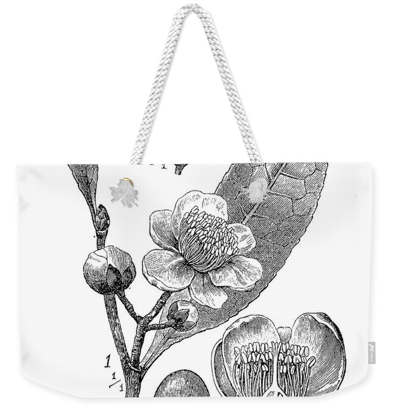 Camellia Sinensis Weekender Tote Bag featuring the digital art Camellia Sinensis, Botanical Vintage Engraving by Luisa Vallon Fumi